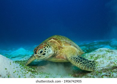 Green Sea Turtle feeding on young sea grass in the sand. Underwater image taken scuba diving in Komodo National Park, Indonesia - Shutterstock ID 1906742905