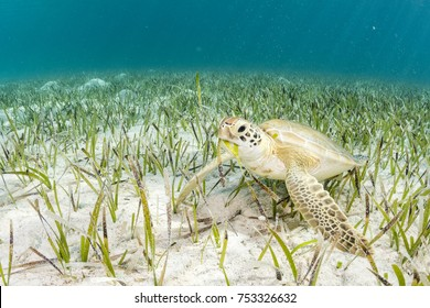 Green Sea Turtle Feeding on Turtle Grass, a type of Seagrass