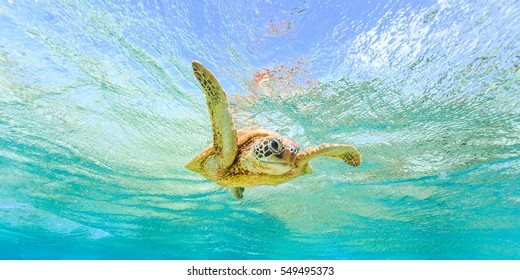 "A Green Sea Turtle giving a ""high-five"" while swimming in crystal clear waters over coral reef"
