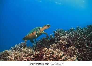 green sea turtle, great barrier reef. Australia