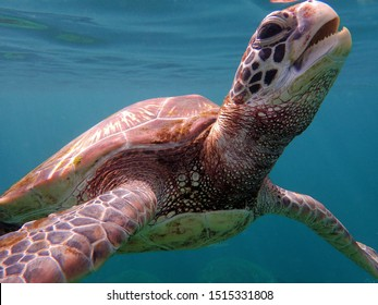 A green sea turtle in Guam opens his mouth to eat a piece of sea grass floating on the surface of the water.