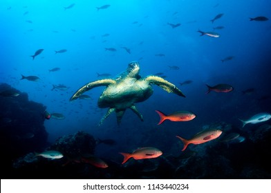 Green Sea Turtle Island in the Galapagos Islands.