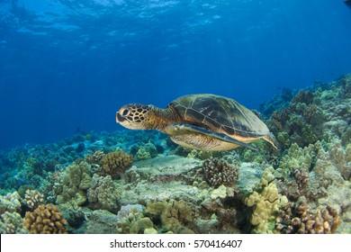 Green sea turtle in Kona Hawaii