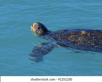 Green sea turtle lifting it's head above water to draw air
