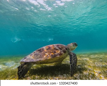 Green sea turtle at the maldives seen while diving and snorkeling underwater with the great turtle animal