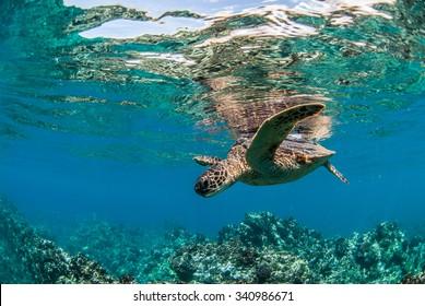 Green Sea Turtle in Maui, Hawaii