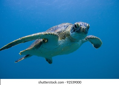Green Sea Turtle Ningaloo Reef (Chelonia mydas)
