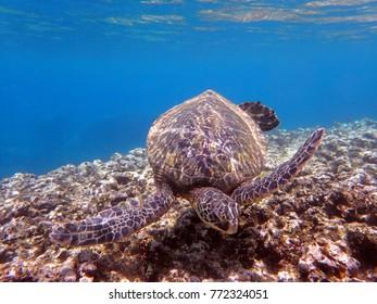 Green Sea Turtle in Oahu