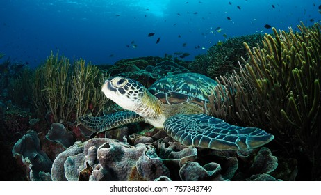 Green sea turtle on top of corals at cleaning station