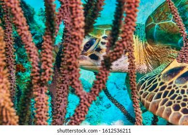 Green Sea Turtle Playing Peek-A-Boo