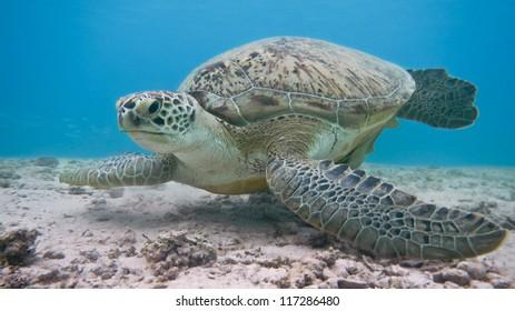 Green sea turtle. Red Sea