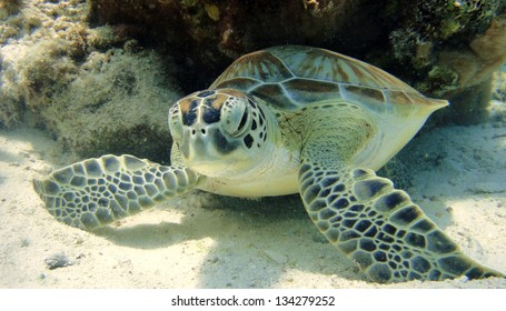 Green Sea Turtle resting on tropical coral reef in the Caribbean, Bonaire