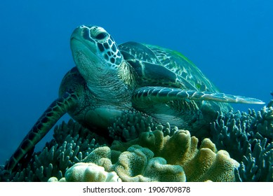 Green Sea Turtle resting on a coral. Underwater image taken scuba diving in Philippines.