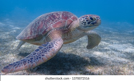 Green sea turtle roams the sandy seafloor searching for food. Sea turtles are becoming threatened due to illegal human activities.