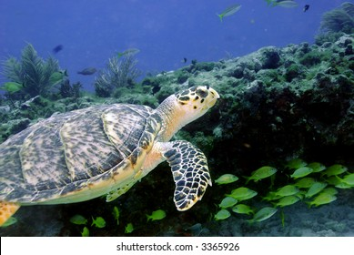 Green Sea Turtle with rocky coral ledge in background