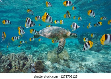 A green sea turtle with a school of tropical fish underwater (butterflyfish), lagoon of Bora Bora, Pacific ocean, French Polynesia