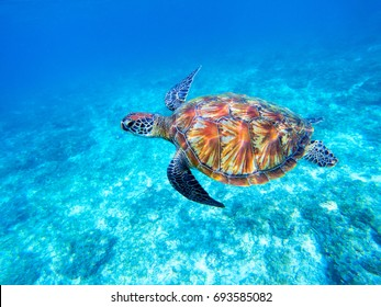 Green sea turtle in shallow seawater. Big green sea turtle closeup. Marine species in wild nature. Turtle in tropical sea. Tortoise photo. Big turtle swims. Aquatic animal underwater. Tortoise shell