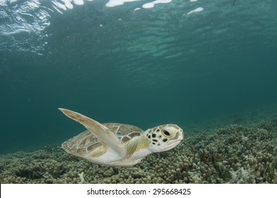 Green Sea Turtle in Shallow Water of the Bahamas