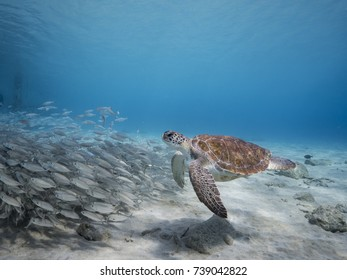 Green Sea Turtle in shallow  water of Caribbean Sea around Curacao