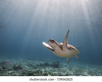 Green Sea Turtle in shallow  water of Caribbean Sea around Curacao with sun beams