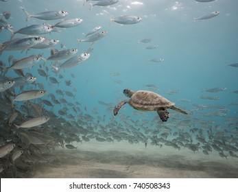 Green Sea Turtle in shallow  water of Caribbean Sea around Curacao with bait ball