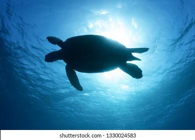 Green sea turtle silhouette Chelonia mydas