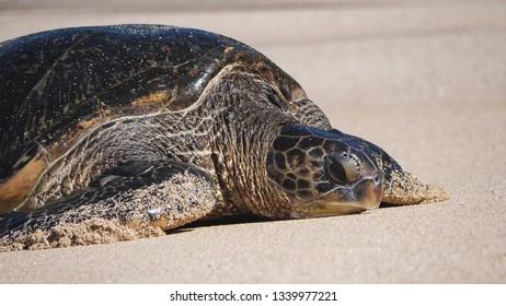 Green sea turtle slowly crawling up Ho'okipa beach in Maui, Hawaii, United States