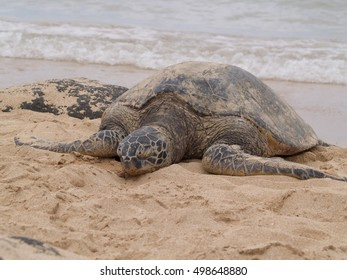 Green Sea Turtle sun bathing on Hawaii beach shore