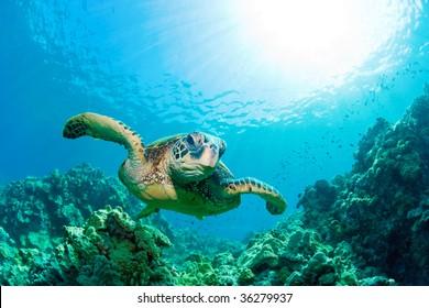 green sea turtle with sunburst in background underwater