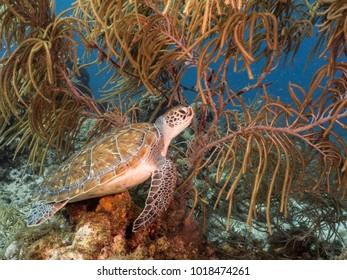 Green Sea Turtle swim in shallow water of the coral reef in the Caribbean Sea at scuba dive around Curacao /Netherlands Antilles