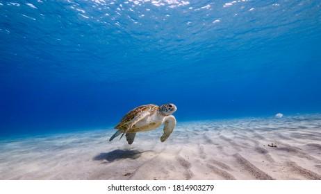 Green Sea Turtle swim in turquoise water of coral reef in Caribbean Sea