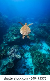 A Green Sea Turtle swimming above coral reef in beautiful clear water