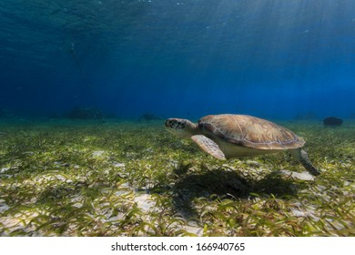 Green sea turtle swimming along ocean bed foraging for food