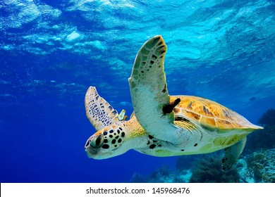 Green Sea Turtle swimming in Caribbean