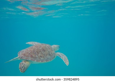 A green sea turtle swimming in the clear waters of the Caribbean