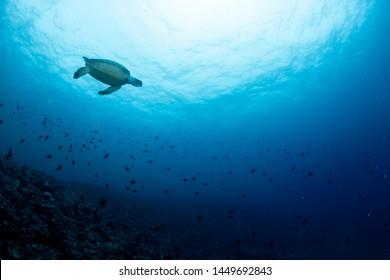 Green sea turtle swimming far away