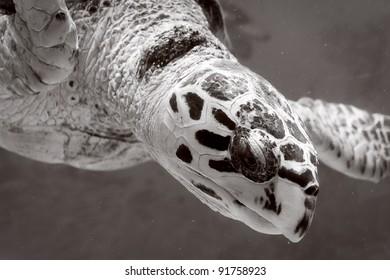 Green Sea Turtle swimming (in black and white)