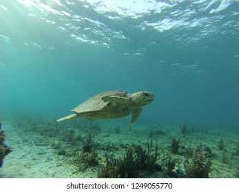 Green sea turtle swimming over shallow reef near South Bimini Bahamas