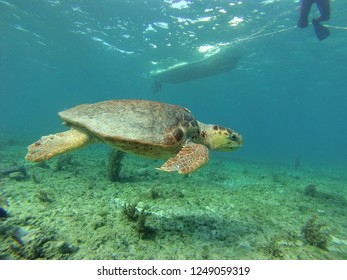 Green sea turtle swimming over reef with boat and snorkeler in the background near South Bimini, Bahamas
