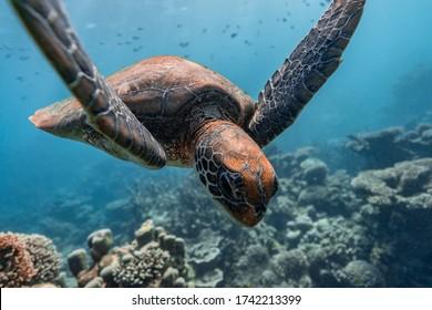 Green Sea Turtle swimming over pristine coral reef in Ningaloo Reef, Western Australia