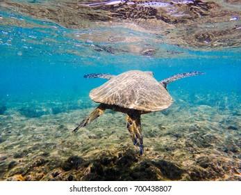 green sea turtle swimming in a pacific ocean reef
