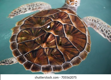Green sea turtle swimming in pool at Sea Turtle Conservation Center Chonburi Thailand