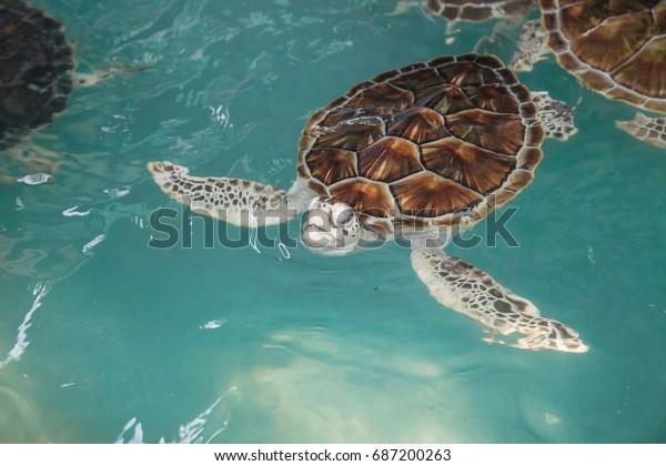 Green Sea Turtle Swimming Pool Stock Photo (Edit Now) 687200263