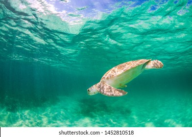 A green sea turtle swimming in shallow clear blue water.