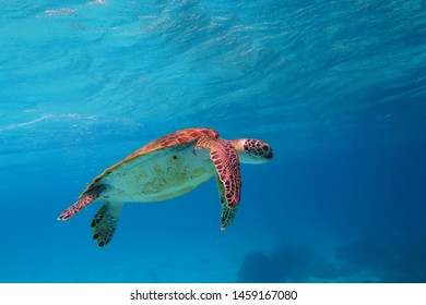 Green sea turtle swimming in shallow water. Turtle under ocean surface, underwater photography from scuba diving with marine animal.  Aquatic life in the blue tropical sea.