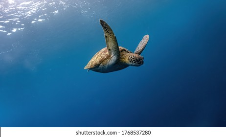 Green sea turtle swimming slowly towards the reef.