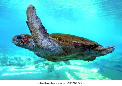 Green sea turtle swimming underwater in Queensland Australia. It is the worlds largest hard shell sea turtle.