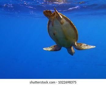 Green sea turtle tummy. Seen at Electric Beach, Oahu Hawaii.