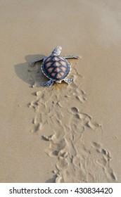 Green sea turtle walk to the ocean , Phang-nga Thailand.