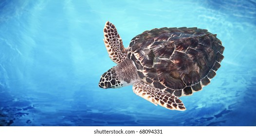 Green Sea Turtle in the water